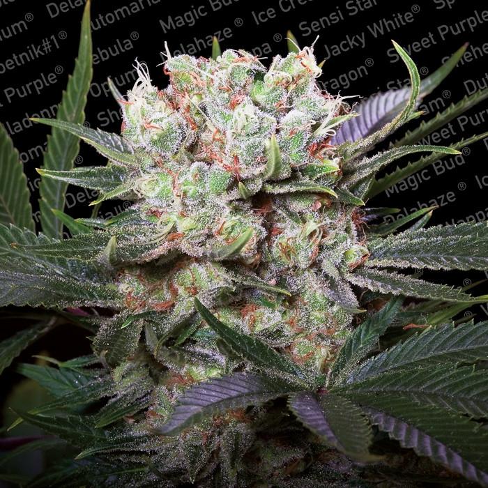 Paradise Seeds Californian Gold