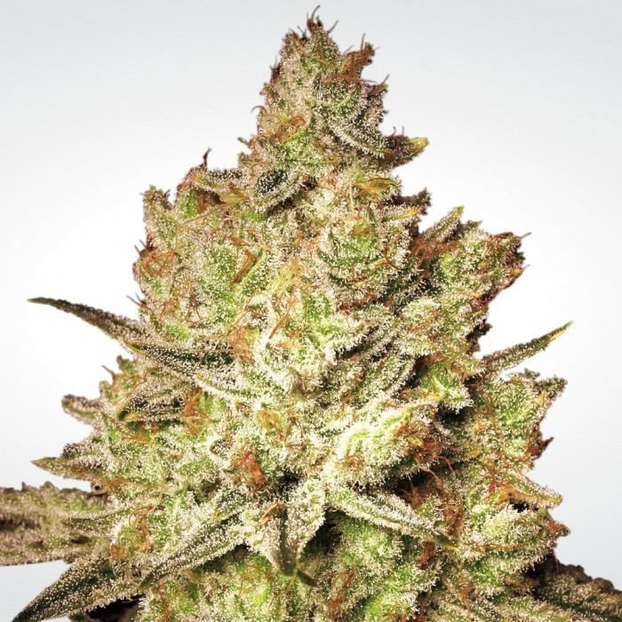 Paradise Seeds Jack White virágzás